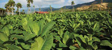 Trồng thuốc xì gà Cuba