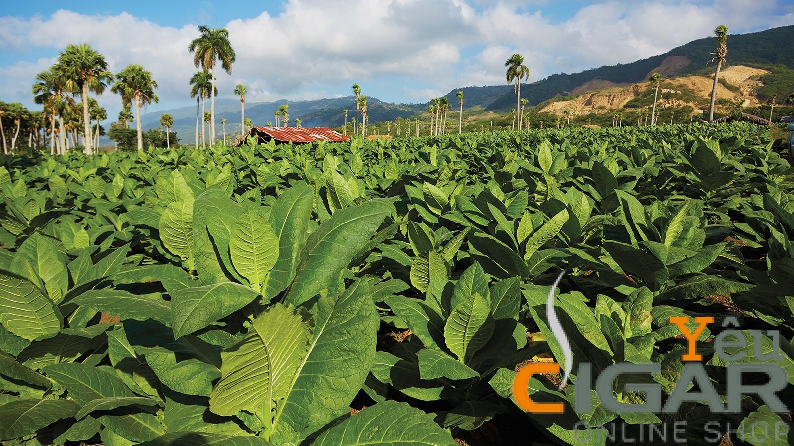 Cuba hướng tới việc gia tăng sản lượng Xì gà (Cigar)